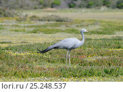 Blue / Stanley Crane (Anthropoides paradiseus). deHoop nature reserve, Western Cape, South Africa, August. Стоковое фото, фотограф Tony Phelps / Nature Picture Library / Фотобанк Лори
