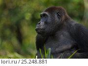 Купить «Western lowland gorilla (Gorilla gorilla gorilla) sub-adult male 'Kunga' aged 13 years head and shoulders portrait, Bai Hokou, Dzanga Sangha Special Dense...», фото № 25248881, снято 21 июля 2019 г. (c) Nature Picture Library / Фотобанк Лори