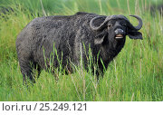 Купить «Cape buffalo (Syncerus caffer), possibly doing flehmen response, Chobe National Park, Botswana», фото № 25249121, снято 15 февраля 2019 г. (c) Nature Picture Library / Фотобанк Лори