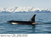 Купить «Killer Whale / Orca (Orcinus orca) large cow in Resurrection Bay, Kenai Fjords National Park, outside Seward, Alaska, May.», фото № 25250033, снято 24 февраля 2019 г. (c) Nature Picture Library / Фотобанк Лори