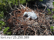 Купить «Lesser frigatebird (Fregata ariel) chicks are covered with white feathers to protect themselves from the heat of the sun, Christmas Island / Kiritimati, Pacific Ocean, July», фото № 25250389, снято 18 января 2018 г. (c) Nature Picture Library / Фотобанк Лори