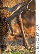Купить «Red deer (Cervus elaphus) stag browsing on ground, close up of antler, Richmond Park, London, UK», фото № 25251037, снято 26 сентября 2018 г. (c) Nature Picture Library / Фотобанк Лори