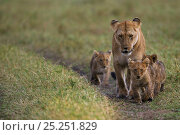 Купить «Lioness (Panthera leo) walking with cubs aged 3-6 months, Masai Mara National Reserve, Kenya, September», фото № 25251829, снято 23 января 2018 г. (c) Nature Picture Library / Фотобанк Лори