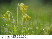 Купить «Cowslip (Primula veris) flowers in dew covered grass, April», фото № 25252361, снято 15 августа 2018 г. (c) Nature Picture Library / Фотобанк Лори