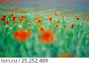 Купить «Common Poppy (Papaver rhoeas) flowers impression in field, Neubrandenburg, Mecklenburg Western Pommerania, Germany», фото № 25252489, снято 16 декабря 2017 г. (c) Nature Picture Library / Фотобанк Лори