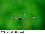 Купить «Long-Jawed orb weaver spider (Tetragnatha extensa) with prey on web, Alsace, France», фото № 25253225, снято 20 июня 2019 г. (c) Nature Picture Library / Фотобанк Лори