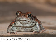 Купить «Red toad (Schismaderma carens), Hidden Valley near Mooi river, KwaZulu-Natal, South Africa», фото № 25254473, снято 17 января 2020 г. (c) Nature Picture Library / Фотобанк Лори