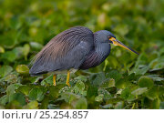 Купить «Tricolored Heron (Egretta tricolor) wading through floating bed of plants in freshwater marsh. Lakeland, Florida, USA, November.», фото № 25254857, снято 17 июня 2019 г. (c) Nature Picture Library / Фотобанк Лори