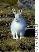 Купить «Arctic hare (Lepus arcticus), Ellesmere Island, Nunavut, Canada, June 2012.», фото № 25255133, снято 20 октября 2018 г. (c) Nature Picture Library / Фотобанк Лори