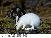 Купить «Arctic hare (Lepus arcticus) grazing on tundra, Ellesmere Island, Nunavut, Canada, June 2012.», фото № 25255145, снято 20 октября 2018 г. (c) Nature Picture Library / Фотобанк Лори