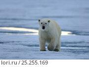 Купить «Male Polar bear (Ursus maritimus) walking on pack ice, Ellesmere Island, Nunavut, Canada, June 2012.», фото № 25255169, снято 22 марта 2019 г. (c) Nature Picture Library / Фотобанк Лори