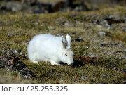 Купить «Arctic hare (Lepus arcticus) grazing on tundra, Ellesmere Island, Nunavut, Canada, June 2012.», фото № 25255325, снято 20 октября 2018 г. (c) Nature Picture Library / Фотобанк Лори