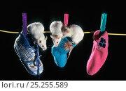 Купить «White mice (Mus genus) in socks (captive)», фото № 25255589, снято 25 мая 2018 г. (c) Nature Picture Library / Фотобанк Лори