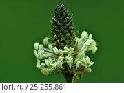 Купить «Flower head and stamens of Ribwort Plantain (Plantago lanceolata). Dorset, UK, May.», фото № 25255861, снято 22 сентября 2018 г. (c) Nature Picture Library / Фотобанк Лори