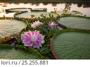 Купить «Giant water lily (Victoria cruziana) Pantanal, Matogrossense National Park, Brazil. Flowers open at night to attract beetles to pollinate them. The flower...», фото № 25255881, снято 21 февраля 2018 г. (c) Nature Picture Library / Фотобанк Лори