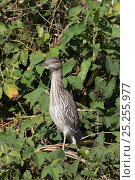 Купить «Black crowned night heron (Nycticorax nycticorax) juvenile perched in vegetation», фото № 25255977, снято 16 февраля 2020 г. (c) Nature Picture Library / Фотобанк Лори