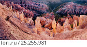 Calcium carbinate hoodoos with reflected light of dawn above the conifer lined valley below, Bryce Canyon National Park, Utah, USA. Стоковое фото, фотограф Jack Dykinga / Nature Picture Library / Фотобанк Лори