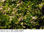 Купить «Spreading Earth-moss (Aphanorrhegma patens) and Yellow-green alga (Botrydium granulatum) on margin of glacial kettle-hole pond, Herefordshire, England, UK, October», фото № 25256081, снято 22 августа 2018 г. (c) Nature Picture Library / Фотобанк Лори