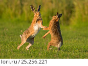 European hares (Lepus europaeus) boxing, UK. Стоковое фото, фотограф Andy Rouse / Nature Picture Library / Фотобанк Лори