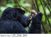 Купить «Mountain gorilla (Gorilla beringei) black back non dominant male eating a mushroom, Kwitonda Group, Volcanoes National Park, Rwanda in wet season, April», фото № 25256381, снято 16 июля 2018 г. (c) Nature Picture Library / Фотобанк Лори