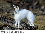 Купить «Arctic hare (Lepus arcticus) stretching, Ellesmere Island, Nunavut, Canada, June 2012.», фото № 25256889, снято 15 августа 2018 г. (c) Nature Picture Library / Фотобанк Лори