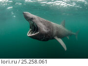 Купить «Basking shark (Cetorhinus maximus) feeding at the surface on plankton, Cairns of Coll, Inner Hebrides, Scotland, UK, June», фото № 25258061, снято 11 января 2019 г. (c) Nature Picture Library / Фотобанк Лори