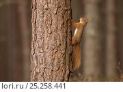 Купить «Red squirrel (Sciurus vulgaris) on tree trunk in scots pine forest, Cairngorms National Park, Scotland, March 2012.», фото № 25258441, снято 29 февраля 2020 г. (c) Nature Picture Library / Фотобанк Лори