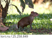 Купить «Central American agouti (Dasyprocta punctata) Gamboa, Soberania National Park, Panama», фото № 25258849, снято 21 марта 2019 г. (c) Nature Picture Library / Фотобанк Лори