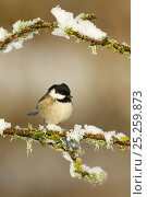 Купить «Coal tit (Periparus ater) perched on branch in snow, Scotland, UK, December», фото № 25259873, снято 22 мая 2019 г. (c) Nature Picture Library / Фотобанк Лори