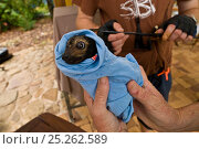 Spectacled flying fox orphans (Pteropus conspicillatus) being weighed and microchipped by volunteer wildlife carers Maren and Andrew of Tolga Bat Hospital... Стоковое фото, фотограф Jurgen Freund / Nature Picture Library / Фотобанк Лори