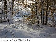 Купить «Woodland snowscene with Robin (Erithacus rubecula). Sussex, England. Composite image.», фото № 25262817, снято 20 января 2019 г. (c) Nature Picture Library / Фотобанк Лори