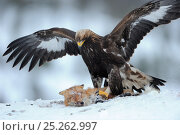 Golden eagle (Aquila chrysaetos) close up in snow with Red fox (Vulpes vulpes). Photographed at a wildlife watching facility, the fox was shot by local... Стоковое фото, фотограф Staffan Widstrand / Nature Picture Library / Фотобанк Лори