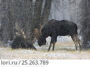 Купить «Moose (Alces alces) two bull moose, Grand Teton NP, Wyoming, USA, October», фото № 25263789, снято 23 июля 2018 г. (c) Nature Picture Library / Фотобанк Лори