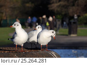 Купить «Three Black-headed gulls (Chroicocephalus ridibundus) in winter plumage, standing on metal platform in Regent's Park boating lake with people in the background, London, UK, January.», фото № 25264281, снято 20 июля 2018 г. (c) Nature Picture Library / Фотобанк Лори