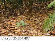 Купить «Southern Cassowary (Casuarius casuarius) nest with four eggs, World Heritage National Park rainforest of the Wet Tropics, north Queensland, Australia», фото № 25264497, снято 16 октября 2019 г. (c) Nature Picture Library / Фотобанк Лори