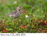 Red-throated pipit (Anthus cervinus) female, Norway, June. Стоковое фото, фотограф Markus Varesvuo / Nature Picture Library / Фотобанк Лори