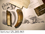 Toxodon platensis fossil teeth together with teeth featured in George Sharf's life-sized lithograph (plate IV) from 'The Zoology of the Voyage of HMS Beagle... Стоковое фото, фотограф Paul D Stewart / Nature Picture Library / Фотобанк Лори