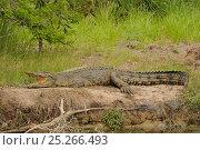 Купить «Saltwater crocodile (Crocodylus porosus) basking in sun, Queensland, Australia», фото № 25266493, снято 15 октября 2019 г. (c) Nature Picture Library / Фотобанк Лори