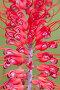 Grevillea flower (Grevillea dryandri) Kakadu National Park, Northern Territory, Australia, December, фото № 25266765, снято 24 сентября 2017 г. (c) Nature Picture Library / Фотобанк Лори