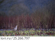 Купить «Grey heron (Ardea cinerea) standing in water at daybreak, Etang d'Amel, Lorraine, France, March.», фото № 25266797, снято 15 декабря 2017 г. (c) Nature Picture Library / Фотобанк Лори