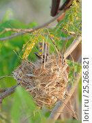 Купить «Noisy friarbird (Philemon corniculatus) on nest, Queensland, Australia, November», фото № 25266821, снято 18 ноября 2017 г. (c) Nature Picture Library / Фотобанк Лори