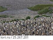 Купить «King Penguin (Aptenodytes patagonicus) rookery crowded with nesting birds incubating eggs or protecting their small chicks, Salisbury Plain, South Georgia Island, February 2011», фото № 25267201, снято 26 марта 2019 г. (c) Nature Picture Library / Фотобанк Лори