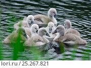 Купить «Mute swans (Cygnus olor) newly hatched cygnets on pond, Yetholm Loch Scottish Wildlife Trust Reserve, Roxburghshire, Scotland, May», фото № 25267821, снято 25 марта 2019 г. (c) Nature Picture Library / Фотобанк Лори