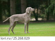 Купить «Domestic dog, Weimaraner, three year male in garden, France», фото № 25268029, снято 16 февраля 2019 г. (c) Nature Picture Library / Фотобанк Лори