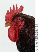 Купить «Barnevelder Hen, cock, studio portrait», фото № 25268181, снято 17 августа 2018 г. (c) Nature Picture Library / Фотобанк Лори