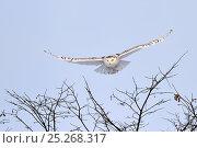 Купить «Snowy owl (Bubo scandiaca) in flight, Quebec, Canada, February», фото № 25268317, снято 2 июня 2020 г. (c) Nature Picture Library / Фотобанк Лори