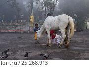 Купить «Morning scene with children feeding lone horse and pigeons, Darjeeling, West Bengal, India 2010», фото № 25268913, снято 26 сентября 2018 г. (c) Nature Picture Library / Фотобанк Лори