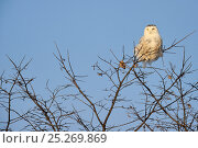 Купить «Snowy owl (Bubo scandiaca) perched on branch, Quebec, Canada, February», фото № 25269869, снято 2 июня 2020 г. (c) Nature Picture Library / Фотобанк Лори