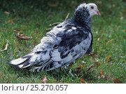 Купить «Domestic Pigeon (Montauban) on grass.», фото № 25270057, снято 22 февраля 2019 г. (c) Nature Picture Library / Фотобанк Лори