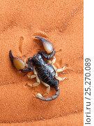 Купить «African yellow leg scorpion (Opistophthalmus carinatus) on sand, Tswalu Kalahari game reserve, Northern Cape, South Africa, January», фото № 25270089, снято 21 апреля 2020 г. (c) Nature Picture Library / Фотобанк Лори